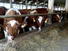 Za kravské mléko dostávají zemědělci stále méně a méně peněz.