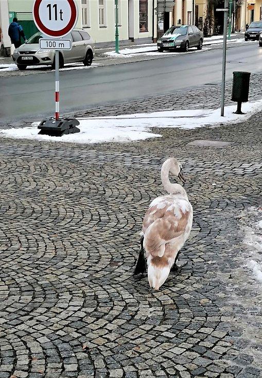 Labutě chodí za potravou i do města.