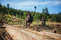 Součástí Dne Českého lesa budou i ukázky práce koní v lese a zemědělství.