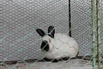Kalifornský králík je velmi populární americké masné plemeno králíka.