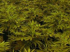 Kouření této usušené rostliny může řidiči zadělat na pořádný problém.
