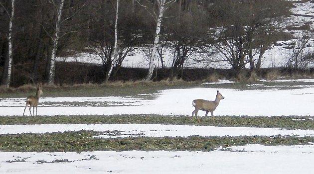 K velkým úhynům zvěře lesní zvěře během letošní dlouhé zimy díky myslivcům nedošlo.