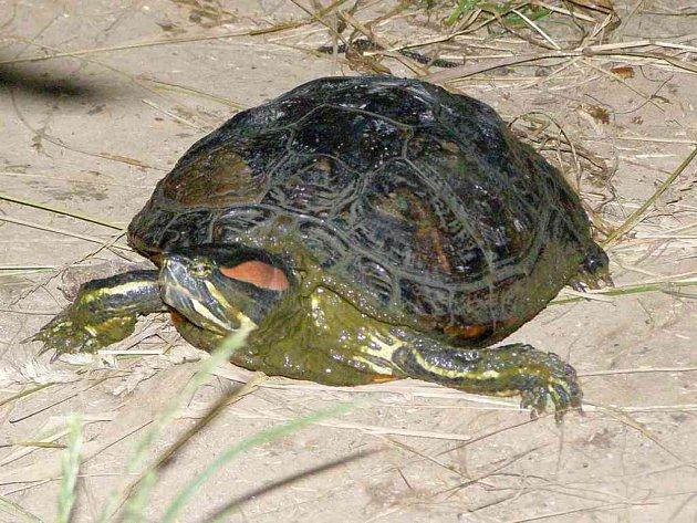 Tuto želvu se podařilo ulovit.