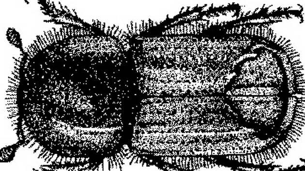 Lýkožrout smrkový