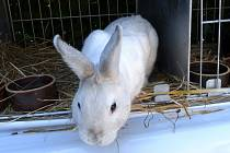 Na chovatelské výstavě obdivují hlavně děti tohoto králíka, který jako by vypadl z klobouku.