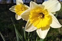 Květy jara. Narcisky.