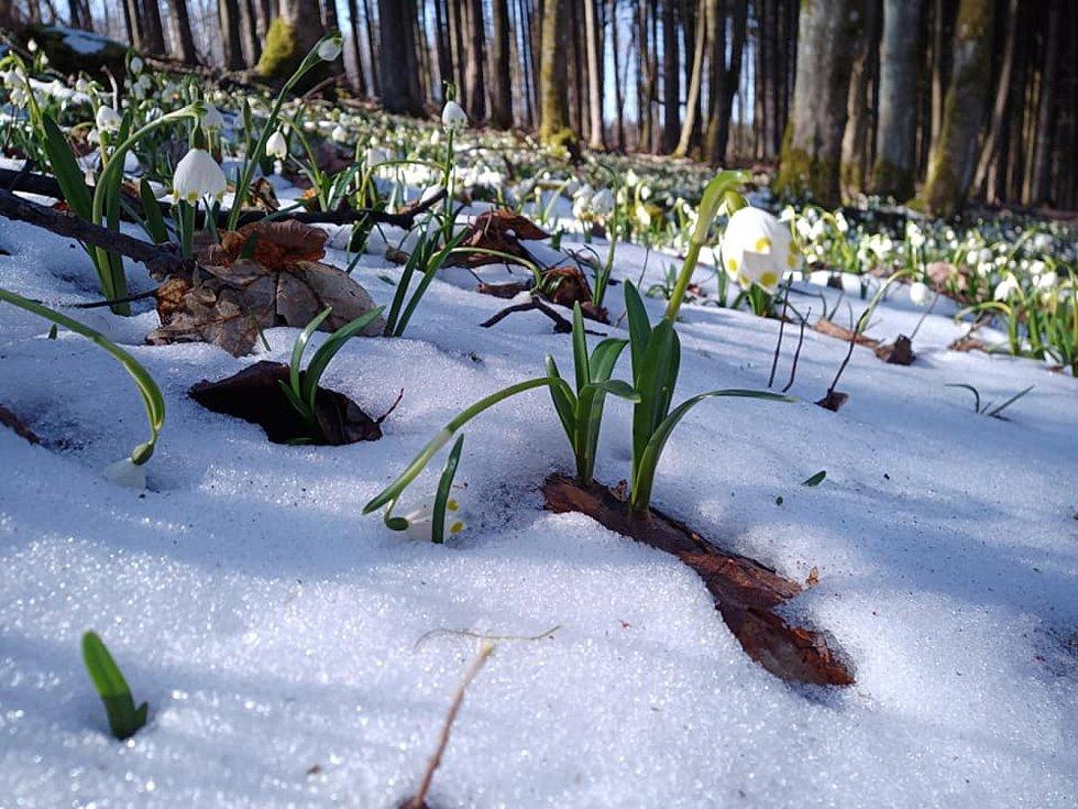 Snímky zachycující stovky bledulí jarních.