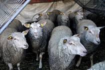 Ovce. Ilustrační foto.