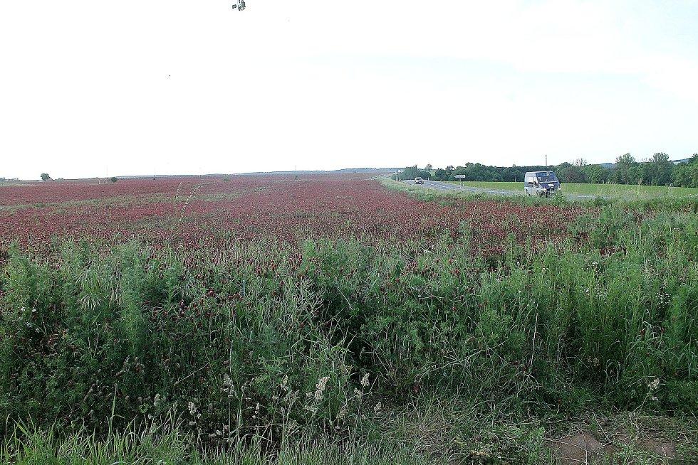 Jetel nachový v současnosti roste na více než 200 hektarech mezi Staňkovem a Holýšovem. Někteří lidé však úrodu kvůli hezkým fotkám ničí.