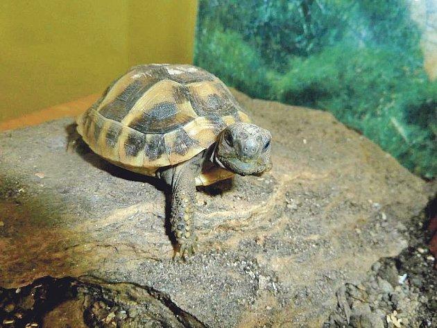 Zabavená želva zelenavá.
