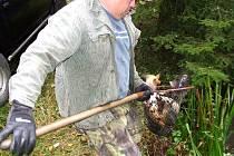 Kdyňští rybáři museli na Bílku vysadit candáty a okouny. Důvodem je malá rybka z východu, která užírá potravu kaprům.