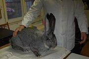 Činčily, Meklenburský strakáč, Belgičtí obři a mnoho dalších králíků se posuzovalo v Horšovském Týně.