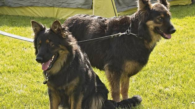 Evropská výstava chodských psů v Chodské Lhotě.