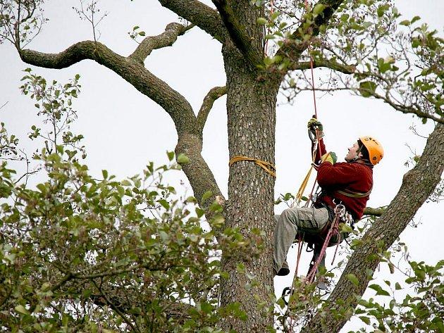 Koruny starých olší, které stojí u cesty na Starý Dvůr, ošetřují pracovníci firmy Baobab.