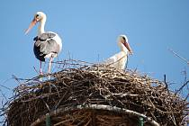 Páreček čápů už hnízdí v Koutě na Šumavě.