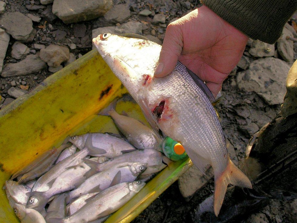 Kormoráni při samotném lovu navíc ještě spoustu ryb zraní.
