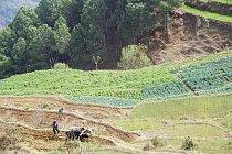 Indické zemědělství.