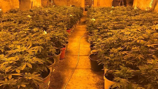 Rostliny konopí v zajištěné pěstírně.