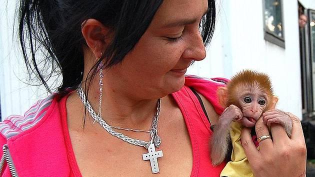 Nejmladší přírůstek cirkusu Carini, tříměsíční opičátko, k jehož křtu dojde v Domažlicích, nám ukázala manželka ředitele Žaneta Navrátilová.
