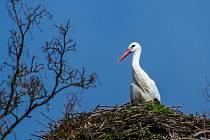 Čáp na svém hnízdě ve Kdyni v pondělí 24. března 2014