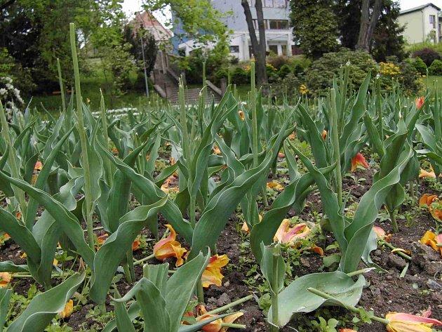 Neznámý ničema otrhal bezmála tisícovce tulipánů květy.