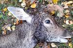V oboře Srdíčko umírala zvířata kvůli ohradníkům. Na snímku jelen s dráty kolem paroží.