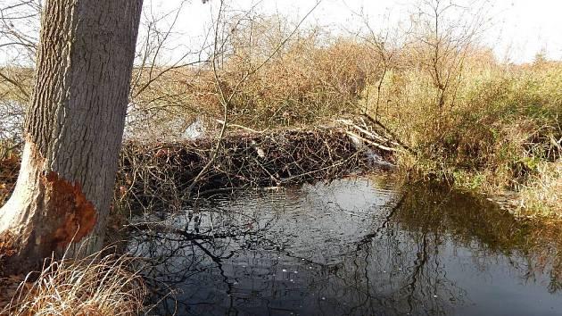 Práce bobrů u řeky Radbuzy.