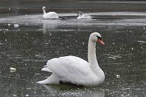 Labutě na horšovskotýnském rybníku.