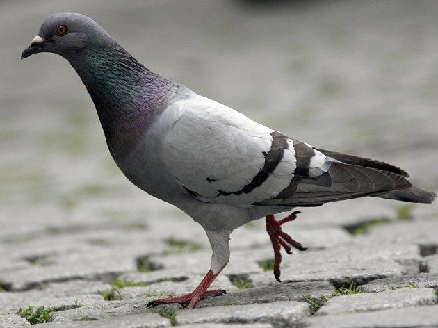 Ilustrační foto. Na holuby znečišťující chodník před Základní školou Komenského 17 zřejmě nic neplatí. Škole nezbývá než ptačí trus do nekonečna uklízet