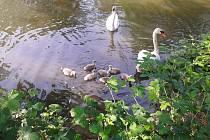 Na Šnajberském rybníku plave sedm malých labutí.