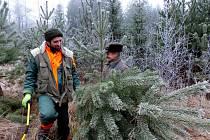 PRVNÍ UŘÍZNUTÝ STROMEK před našima očima byla tato borovička. Stála nedaleko jiné, jíž kdosi loni před Vánoci uřízl špičku.