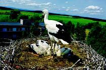 Z HNÍZDA V DRAŽENOVĚ. Čapí rodiče přijali ještě jedno mládě.