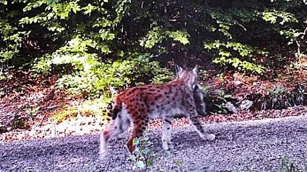 ANJA S MLÁDĚTEM. ´Rysátku´ mohly být 2–3 měsíce. Projekt Trans-Lynx sleduje rysy po celé délce jihozápadní hranice ČR/SRN. Kvůli pokrytí území byla navázána spolupráce s Rakouskem.