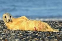 Čerstvě narozený tuleň.