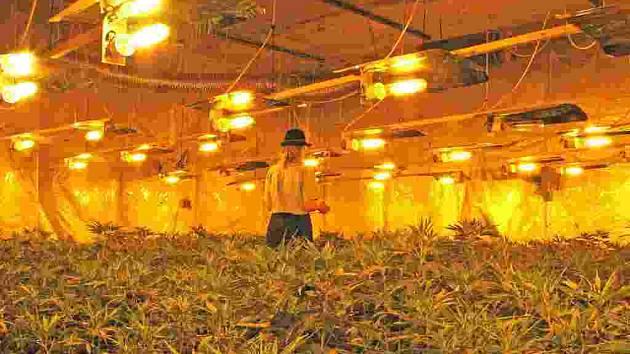 V době zátahu se nacházelo v několika oddělených místnostech 504 květináčů se vzrostlou marjánkou. Policejní mluvčí se v ní téměř ztratila.