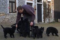 Štěnata belgického ovčáka v chovné stanici Martina Hodka ve Štítarech.