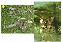 Vlevo to, co zbylo ze dvou upytlačených rysů, vpravo pak chráněný živočich.