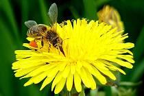 VČELA si teď musí vystačit hlavně s tím, co je v úlu. Na správnou pastvu vyletí, až bude všechno kvést.