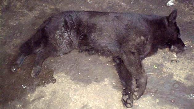 Otráveného německého ovčáka poté, co nezabrala injekce protilátek, vysvobodila od bolesti a zároveň navždy uspala injekce veterináře.