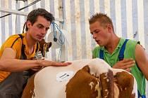 Přípravy krav na výstavu v Mrákově.
