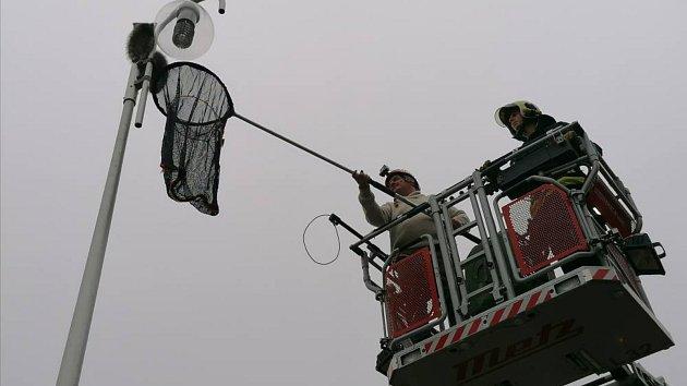 Zvíře vylezlo na lampu. Dolů mu pomáhali hasiči.