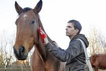 Kartáčování koní je uklidňující činnost.