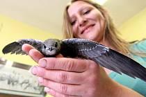 Rorýs obecný.  Pták, kterého si mnozí pletou s vlaštovkou, nemá bílou spodní část těla. Je tmavě hnědý až dočerna,  světlé hrdlo, delší křídla a kratší vykrojený ocas. Je naším nejrychlejším letcem, dokáže vyvinout rychlost až přes 200 km/h.