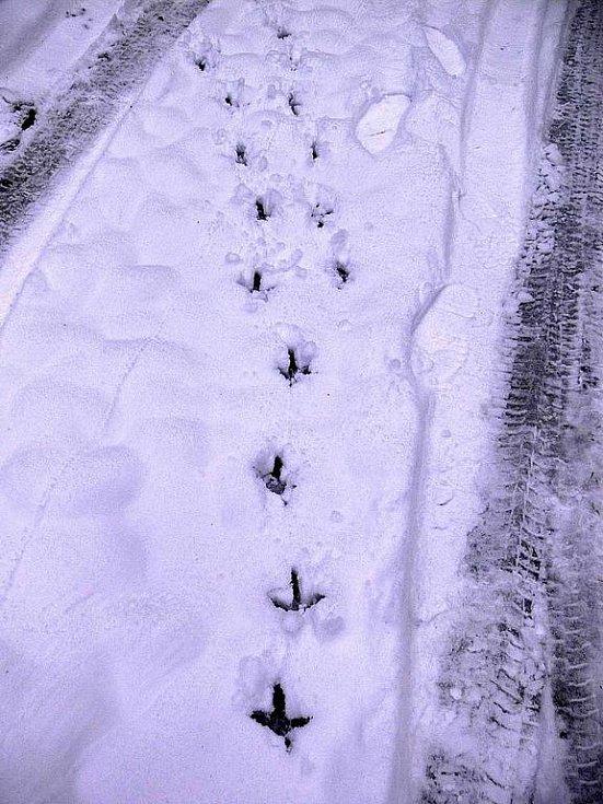 Stopy tetřevů ve sněhu.
