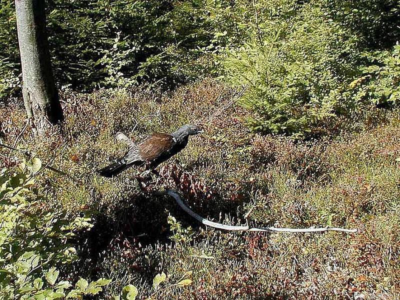 VYPUŠTĚNÝ TETŘEV. Kdo by odhadoval, že po nabytí svobody uletí, mýlil by se. Kohout pokračoval pěšky kolem ohrady, kde si předtím zvykal na prostředí čerchovských lesů.