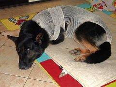 PES ROMER PO OPERACI. Tento služební pes byl zraněn při zadržení nebezpečného pachatele, který policii unikal.