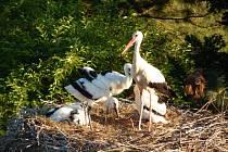 Doplňování hnízda v Horšovském Týně