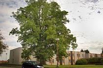 Mohutná lípa stojící vedle zámku byla navržena na označení památný strom.