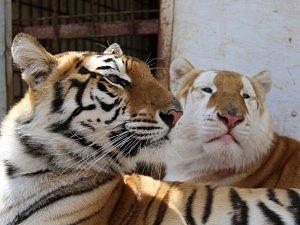 Bengálští tygři z cirkusu Arlet.