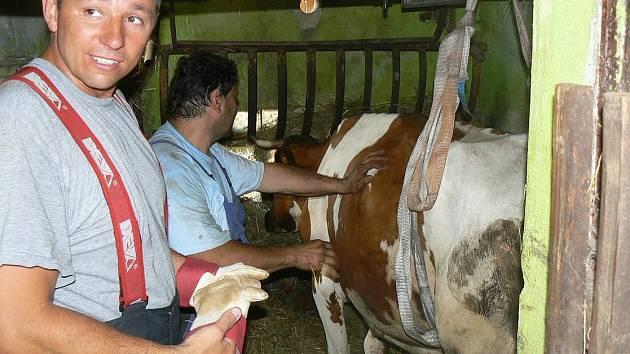 Staňkovští profesionální hasiči pomohli na nohy této krávě, čímž ji zachránili.